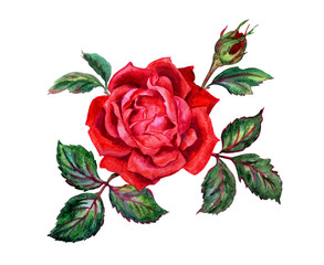 Red rose with a bud, drawing in watercolor on a white background.