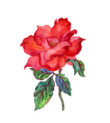 Red rose drawing in watercolor on a white background.
