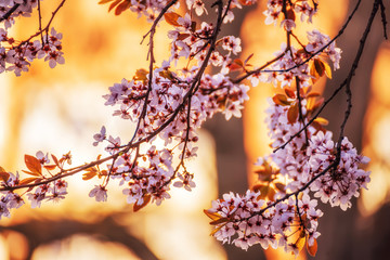 Branches of a blossoming cherry tree at sunset. Warm sunny photo with a yellow sunny background.