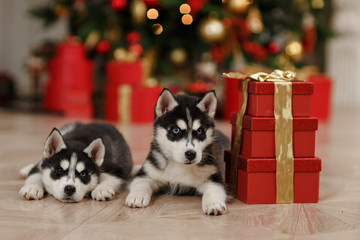Husky Puppies black and white Christmas trees are in