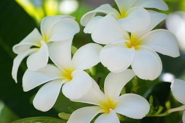 Group white frangipani on natural. White Plumeria.