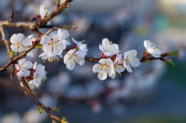 Flowering apricot branch. Blooming apricot. Spring. The young buds and leaves on the branches. Grey background