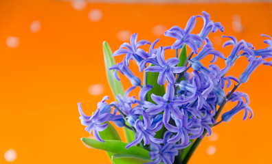 Blue spring flowers with green leaves on an orange background