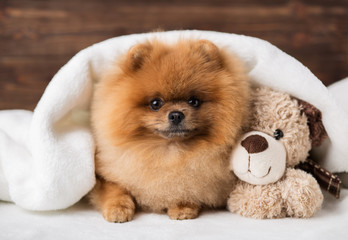 Cute pomeranian dog. Best friends