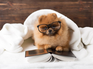 Clever pomeranian dog with a book. A dog sheltered in a blanket with a book.