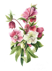 Hellebore flowers white and red bouquet, isolated object. Hand drawn watercolor botanical illustration,