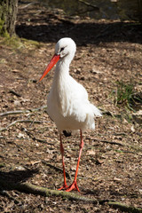 stork - beautiful close up of a stork