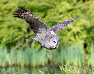 Close up of a Great Grey Owl in flight over a pond in woodland