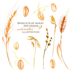 Set, illustration collection with watercolor wheat spikelets, wheat grains and dry flowers, hand drawn isolated on a white background