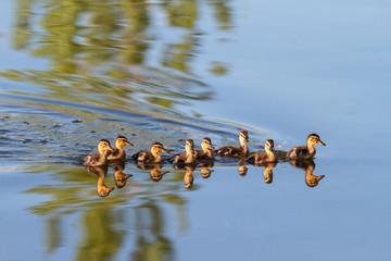 Baby Ducks Swimming