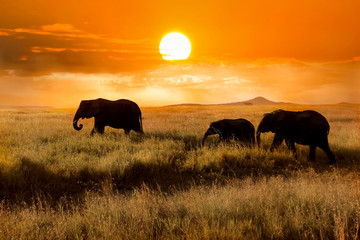 Wall Mural - Family of elephants at sunset in the national park of Africa