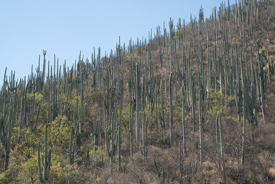 Cactuses in Mexico, Oaxaca