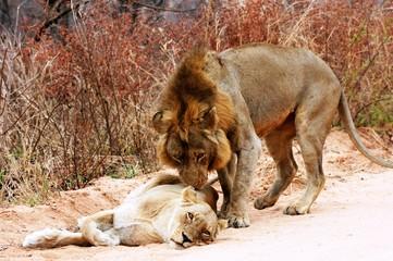 Lions in Kruger National Park South Africa