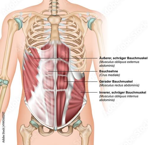 Bauchmuskeln oben mit Beschreibung deutsch - latain, vektor ...