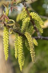 Male bloom of a hazelnut bush