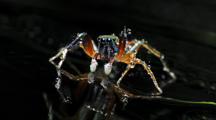 Beautiful Spider on glass, Jumping Spider in Thailand, Siler semiglaucus