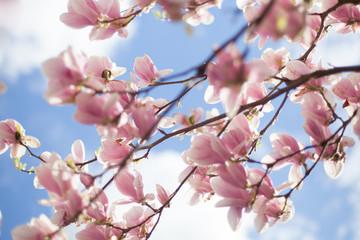 Fototapeta Kwitnące kwiaty Magnolii - wiosna  obraz