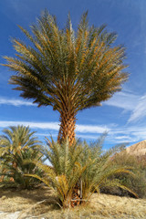 Date Palm Tree in the Mojave Desert