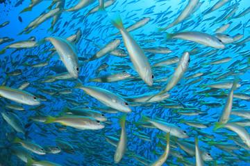 School of Snapper fish in ocean