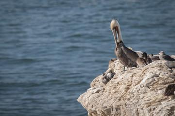 Brown Pelican, Santa Cruz, California