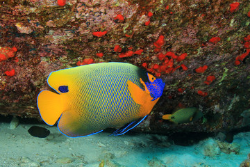 Yellowmask Angelfish. Tropical fish
