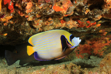 Emperor Angelfish fish