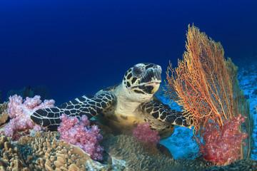 Hawksbill Sea Turtle eating coral on underwater reef