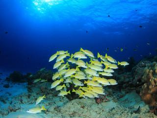 Fish school Snappers underwater coral reef