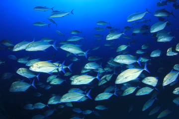 Fish school Trevallies (Jacks) in blue ocean