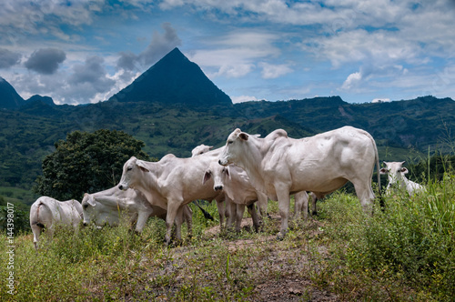 Toros Cebú Stock Photo And Royalty Free Images On Fotoliacom Pic