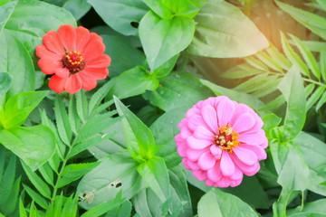 Zinnia elegans flower