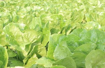 Butterhead Hydroponic Vegetable, Method of Growing Plants in Nutrient Water, Closeup