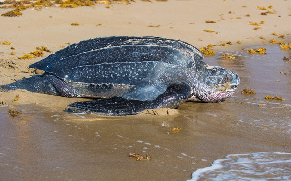 Leatherback Turtle returning to Ocean after laying eggs