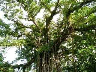 Upper part of Fig tree in Rota jungles, Rota
