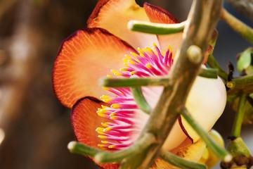 Fototapete - Kanonenkugelbaum in Blüte