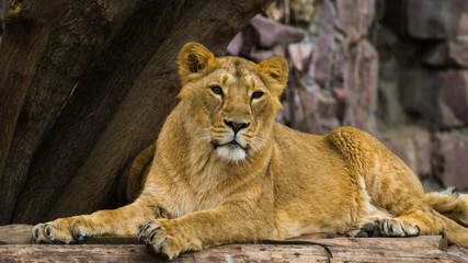 The Asiatic lioness rests and looks forward.