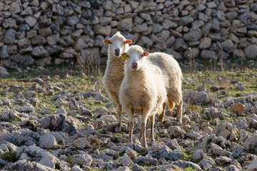 Flock Of Sheep on pasture - two female long-tailed sheep, island Pag, Croatia