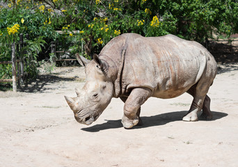 Rhinoceros,animal or wildlife concept.