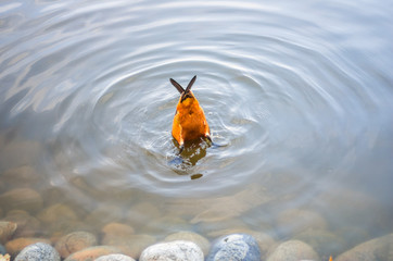 Orange duck dived into the water and its tail sticks out over the water