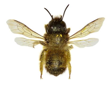 Red Mason Bee on white Background  -  Osmia bicornis (Linnaeus,1758)
