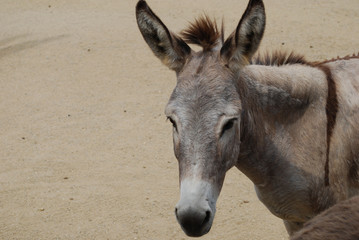 Beautiful Face of a Wild Donkey in the Dessert