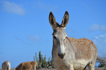 Beautiful Wild Donkey with Blue Skies