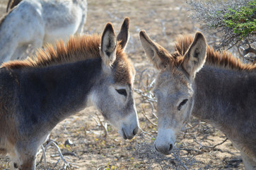 Pair of Wild Donkeys Together in Aruba