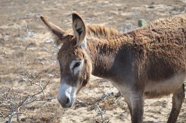 Wild Donkey Scavenging on Aruba's Southern Tip