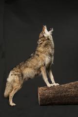 heulender Wolf als Studioaufnahme