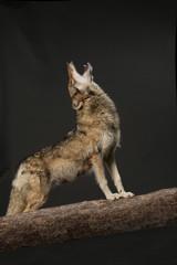 heulender Wolf als Studioaufnahme mit schwarzem Hintergrund