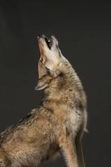 heulender Wolf im Porträt als Freisteller