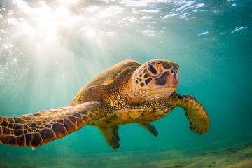 Fototapete - Endangered Hawaiian Green Sea Turtle Cruising in the warm waters of the Pacific Ocean