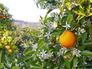 Valencian orange and orange blossoms. Spring
