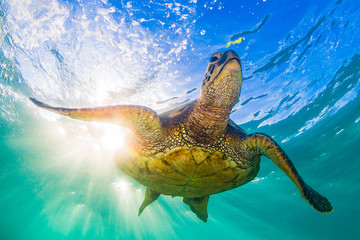 Wall Mural - Endangered Hawaiian Green Sea Turtle Cruising in the warm waters of the Pacific Ocean
